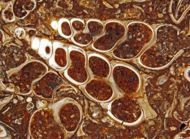 Douglas Moore of the University of Wisconsin-Stevens Point entered this image of a fossilized Turitella agate containing Elimia tenera (freshwater snails) and ostracods (seed shrimp).