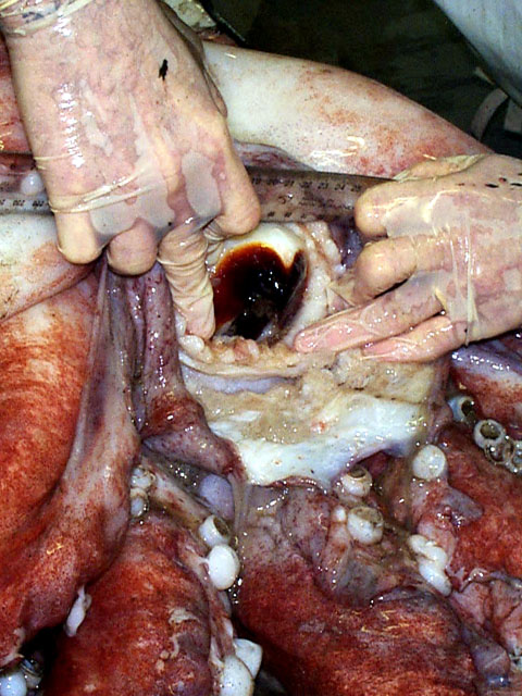 Be glad this isn't your job. Scientists get close up with a giant squid's beak in 1999.