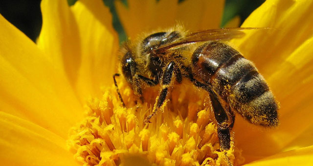 Honeybees Trained To Sniff Out Landmines In Croatia