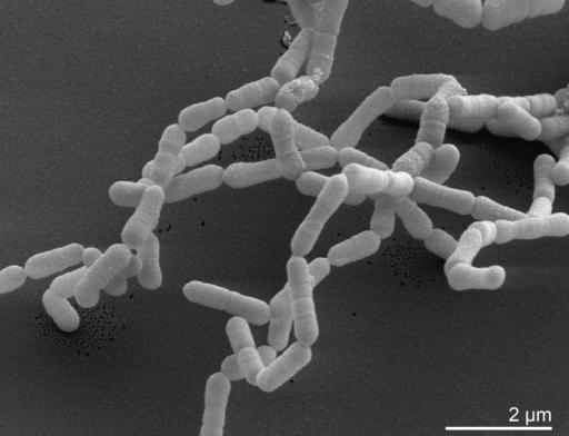<em>E. lenta</em> bacteria.