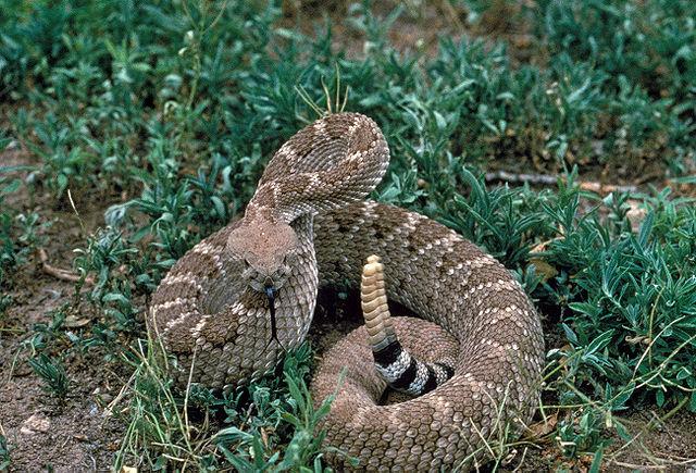 A crotalus atrox, aka western diamondback rattlesnake.