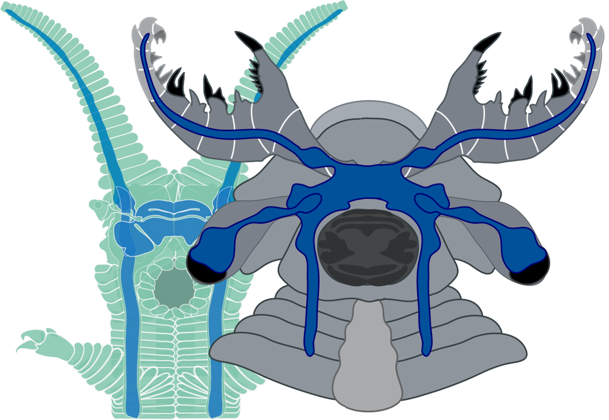 The organization of the nervous systems of the new species (right foreground) and a velvet worm (left).
