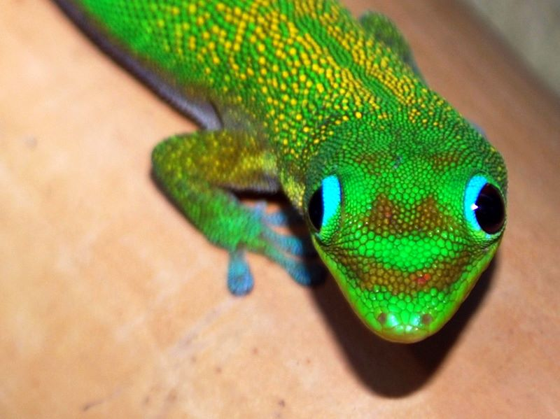 A day gecko.