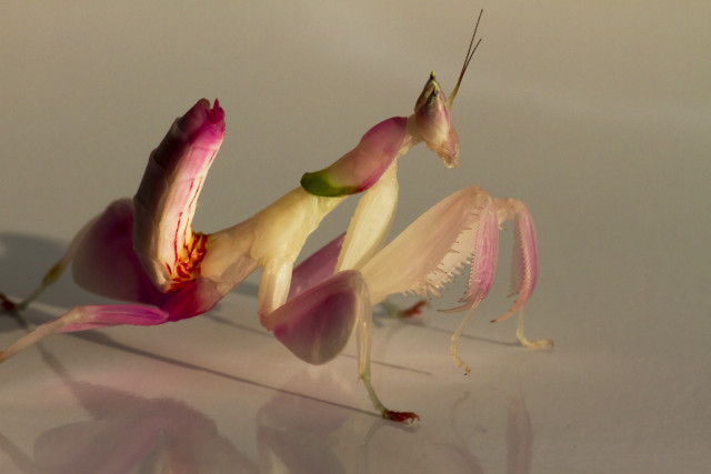 Orchid mantis' astonishing camouflage isn't especially orchid-like