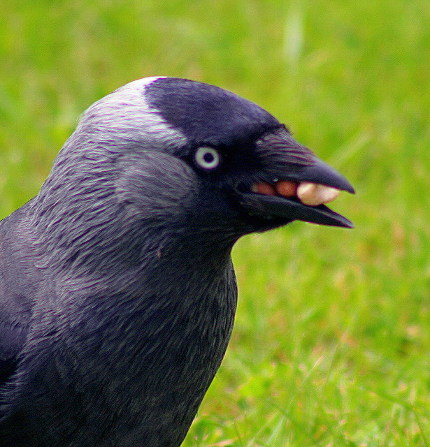 Just look how many seeds this jackdaw has jammed into its beak. Pretty impressive.