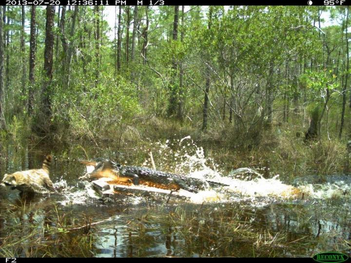 An alligator tries to chomp a raccoon at a Florida research station.