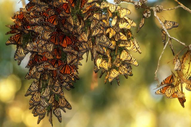 Монарх бабочки может исчезнуть из восточной части США в течении 20 лет