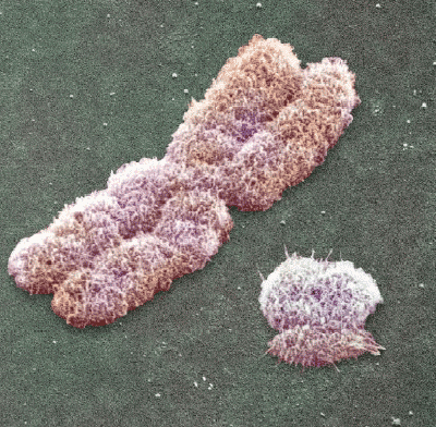 The Y chromosome (right) is pretty minimalist compared to the X, but it holds much more history.