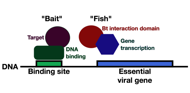 Bait and Fish. The bait protein has a DNA binding domain fused to an insect protein that will be the new toxin's target. A fish protein merges the Bt target recognition domain with a protein that copies DNA into RNA. As a result, an essential gene will only be copied into messenger RNA when the bait and fish can interact.