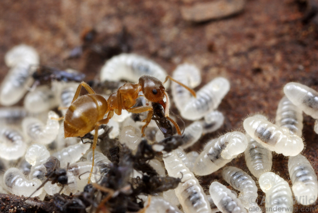 A worker ant feeds the carcasses of fungus gnats to hungry larvae in the brood nest.