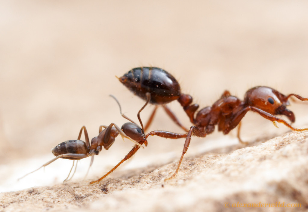 A feisty little Argentine ant (<em>Linepithema humile</em>) attacks a much larger fire ant (<em>Solenopsis invicta</em>). Both species co-exist naturally in subtropical South America, but in the southern United States where both have been accidentally introduced, the fire ant has displaced the Argentine ants. Austin, Texas, USA.
