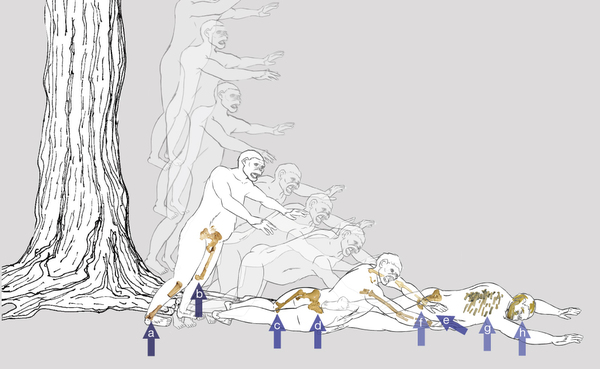 """Here you can see an illustration of what Lucy's fall would have been like. """"We hypothesize that Lucy fell from a tall tree, landing feet-first and twisting to the right, with arrows indicating the sequence and types of fractures,"""" write the authors in Nature."""