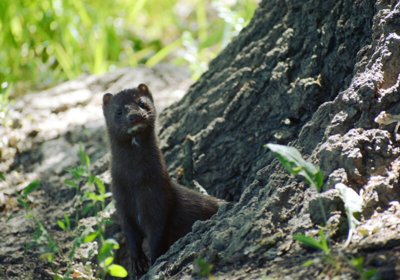 Image of a mink at the base of a tree.