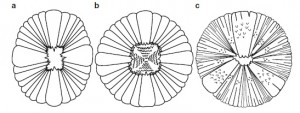 The mouths of Peytoia (A), Hurdia (B), and Anomalocaris canadensis (C). Notice that the mouth of Anomalocaris has a triradial, rather than tetraradial, organization.