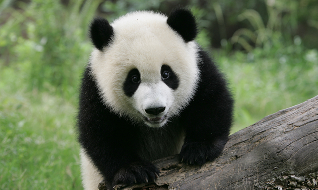 Panda genome completed using short-read sequencing