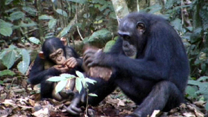 Chimpanzee Tool Use Is No Monkey Business Ars Technica