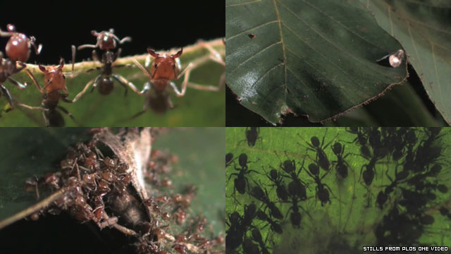 Ants catch giant prey using