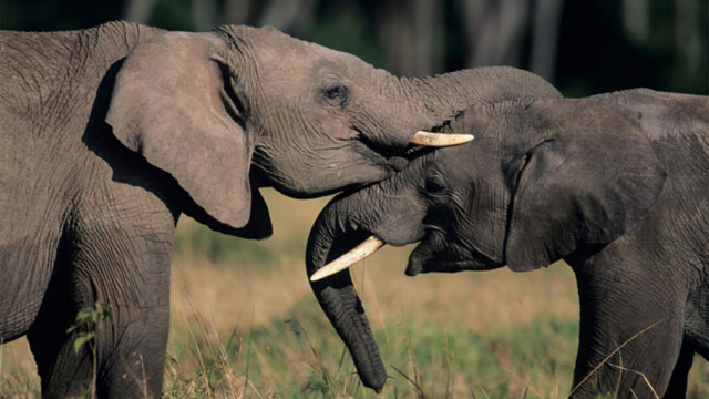One elephant key to aging? Be less vulnerable to predation or other random strokes of fate, and you're likely to survive long enough to reap the benefits of better-maintained cellular machinery