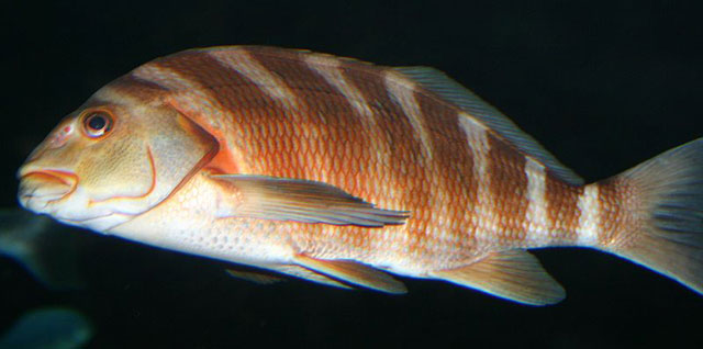 The banded morwong, or red moki (C. spectabilis)