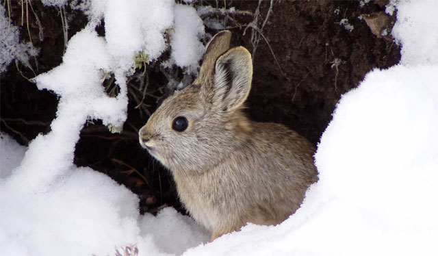An Idaho pygmy rabbit (Brachylagus idahoensis), a close cousin of the Columbia Basin pygmy rabbit