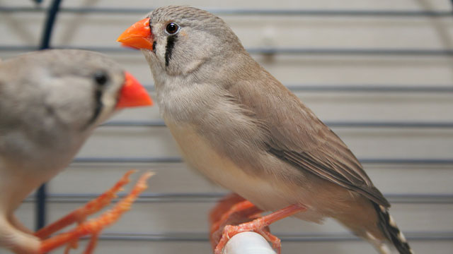 Unfaithful female finches have their genes to thank | Ars ...