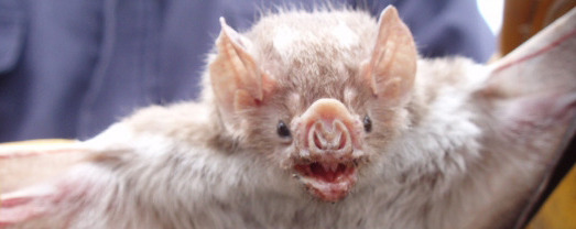 A shot in the dark: how vampire bats zero in on blood