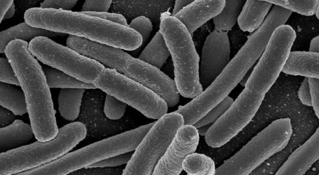 Need biofuel from bacteria? Run their fat-burning cycle in reverse