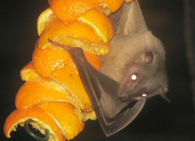 Bats navigate with visual map, additional unknown cues
