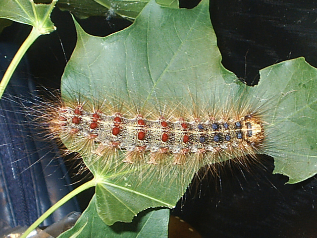 Gypsy moth caterpillar (Lymantria dispar)