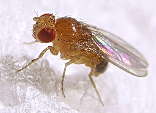 For fruit flies, the scent of food is sexy
