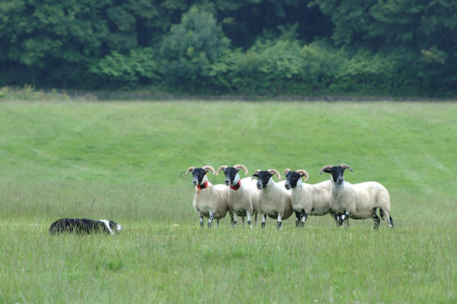 Designing a sheepdog to herd photons