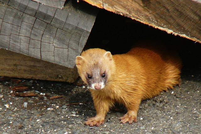 Richard Dawkins' weasels beat random monkeys to Shakespeare's work