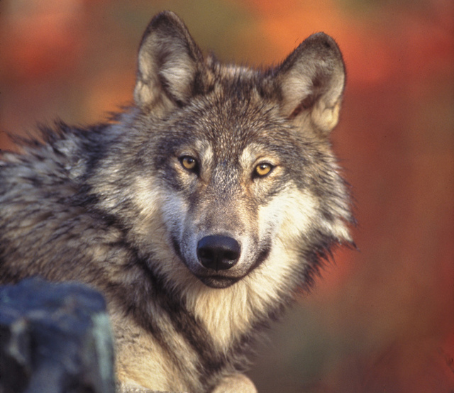 With wolves going off the endangered list, should states step up to preserve populations?