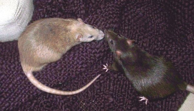 Rats show empathy, will come to the aid of other rats
