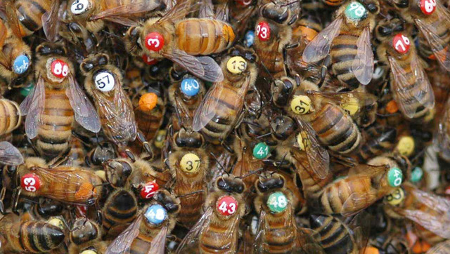 Who's headbutting who? Researchers track swarming bees.