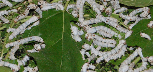 Researchers hack silkworm genome to get spidery silk