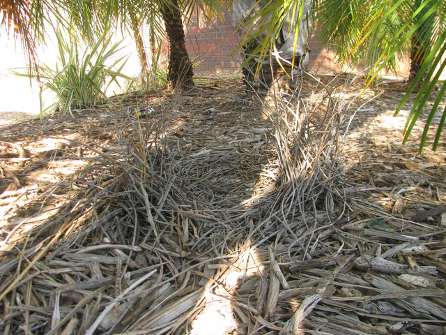 The bower of a Great Bowerbird in the garden of a shopping center.
