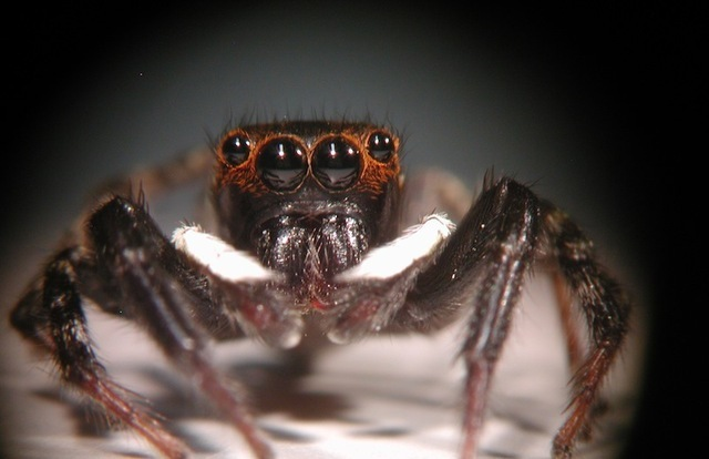 The four forward-facing eyes of a jumping spider.
