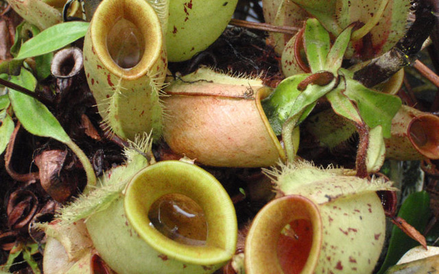 Some plants that grow in nutrient-poor soils aren't secretive about their carnivorous ways.