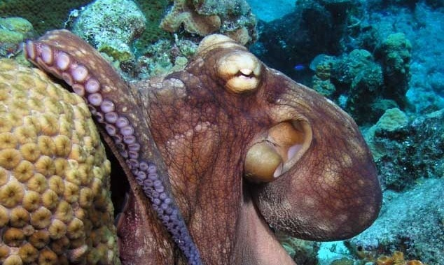 Adaptation without genetic changes help an octopus handle freezing temps