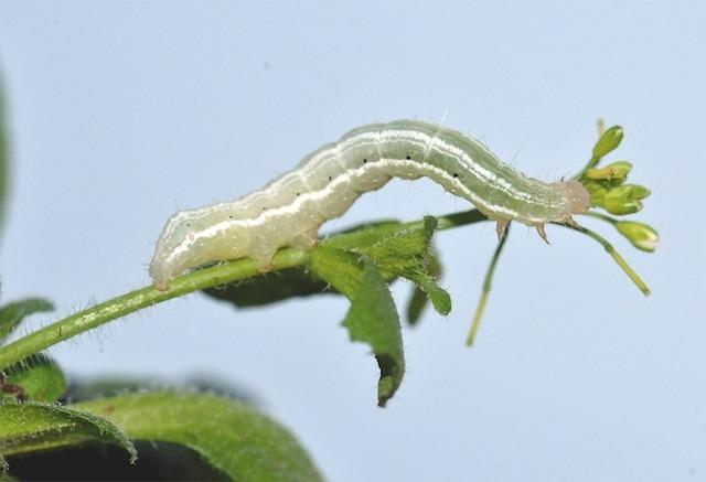 A cabbage looper on <em>Arabidopsis Thaliana</em>.