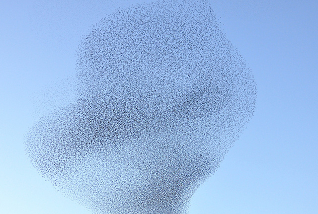 A flock of European starlings. Individual birds may steer their flight direction according to their neighbors within the flock, according to a mathematical model.