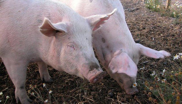 The week in science faces fears of exploding pigs
