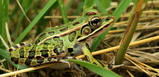 A Northern Leopard Frog, similar to the newly discovered species
