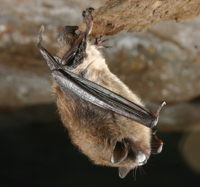 European bats tolerate the fungus that is wiping out North American species