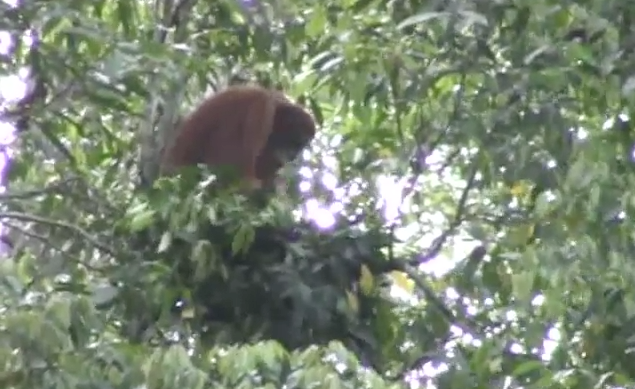Nest-making orangutans build for comfort and strength