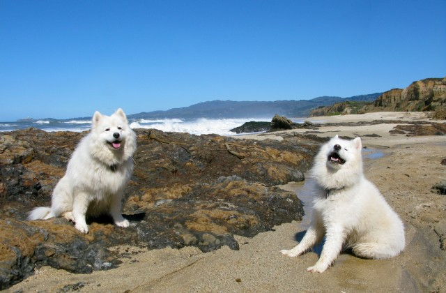 These happy Samoyeds look ancient (genetically), but probably aren't.