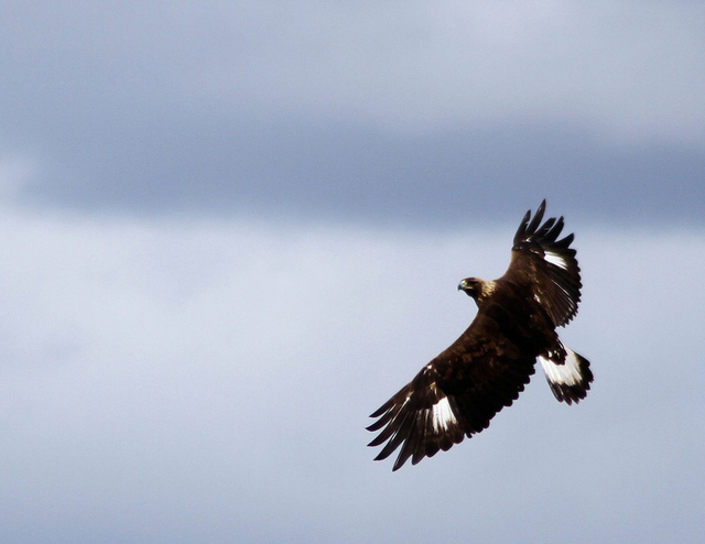 An immature Golden Eagle–one of the species to fall prey to the Wildlife Services' methods