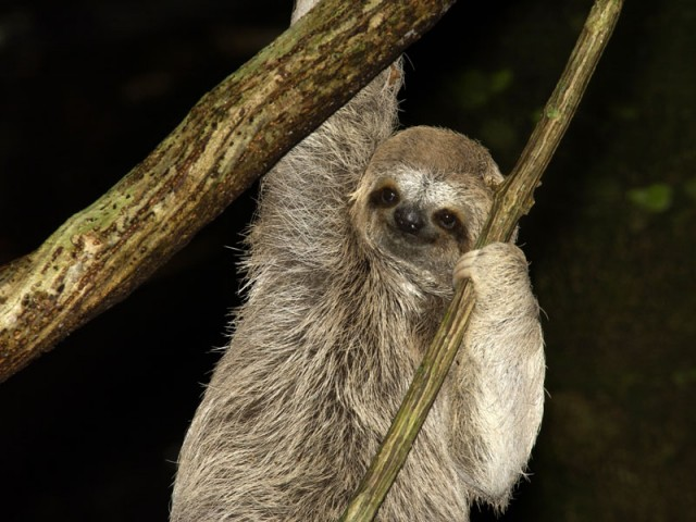 Despite its reputation, the sloth apparently disperses to new habitats with relative ease.