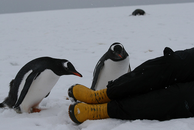 This penguin is also contemplating boots.